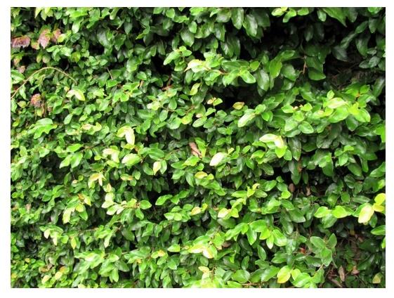 Plantas para jardines verticales for Muros de plantas verticales